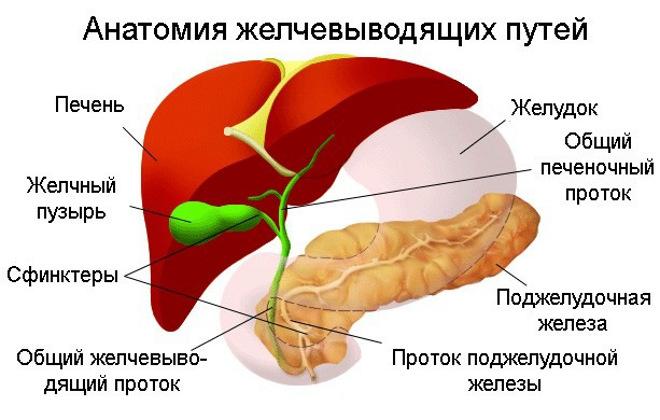 Строение печени, желудк и поджелудочной железы