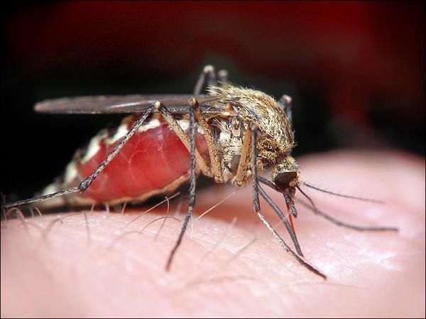 Комар переносчик вируса Зика