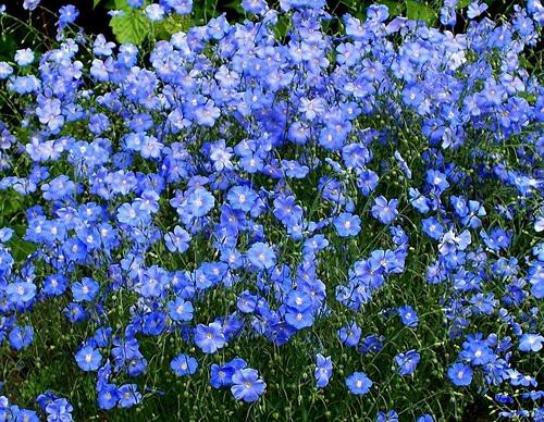 Поле голубого льна