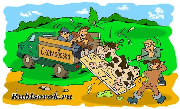 Погрузка коровы в кузов