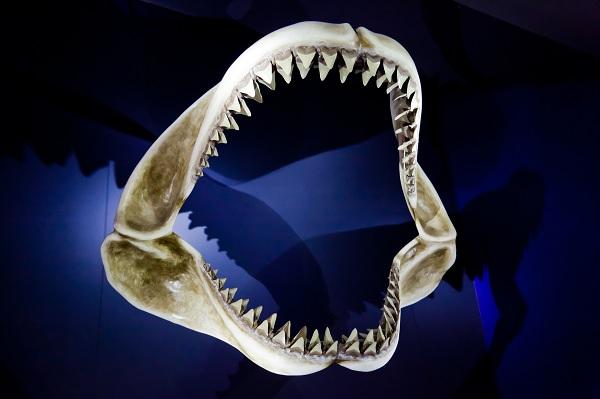 Устройство челюстей акулы