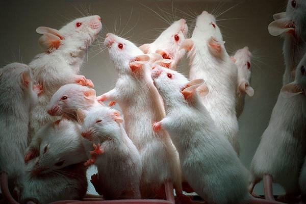 Крысы для опытов
