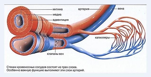Строение кровеносных сосудов