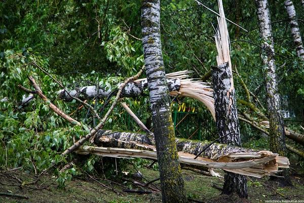 Ломка березки в лесу