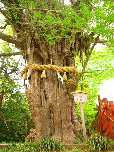 Легендарное дерево Гинкго