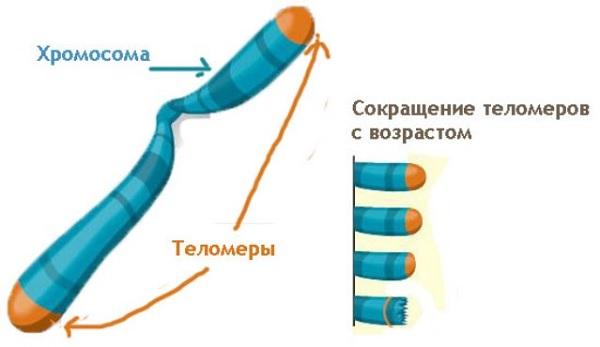 Сокращение теломер с возрастом