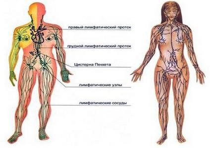 Лимфосистема человека