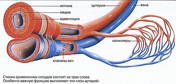 Строение сосудов и капилляров