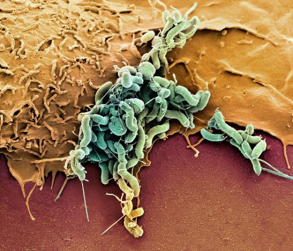 Вредные бактерии