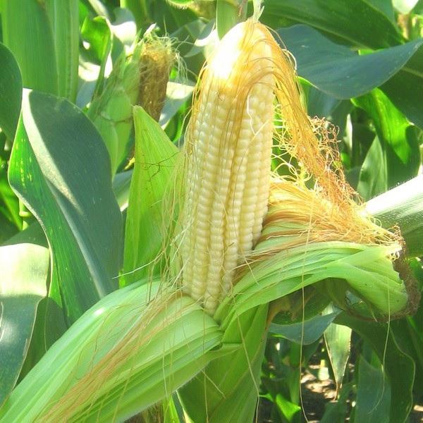 Кукурузный початок с волокнами