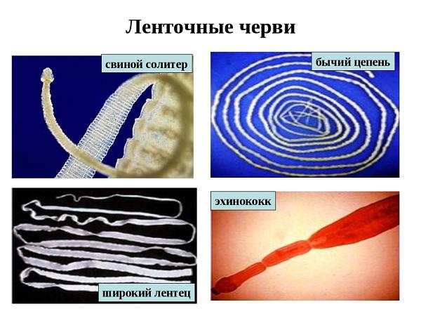 Виды ленточных червей