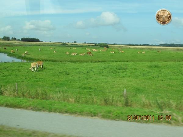 Датские коровы