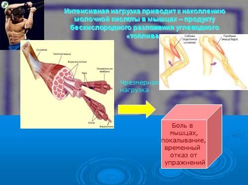 Молочная кислота в организме человека