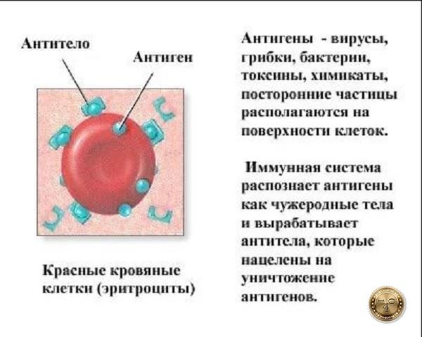 антигены в организме