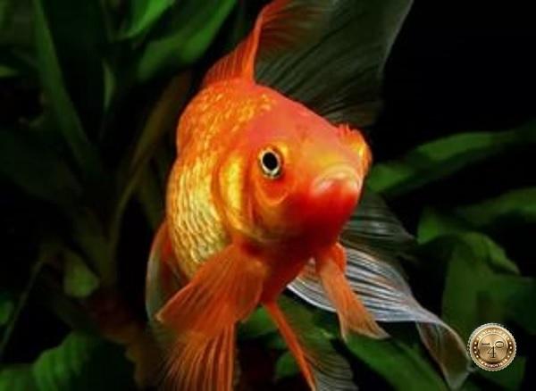 золотая рыбка в пруду на даче