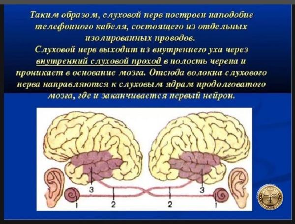 строение слухового нерва