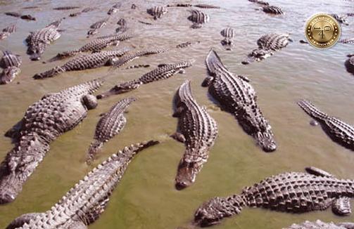 стая аллигаторов