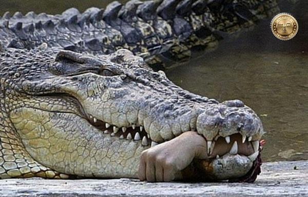 рука в зубах аллигатора