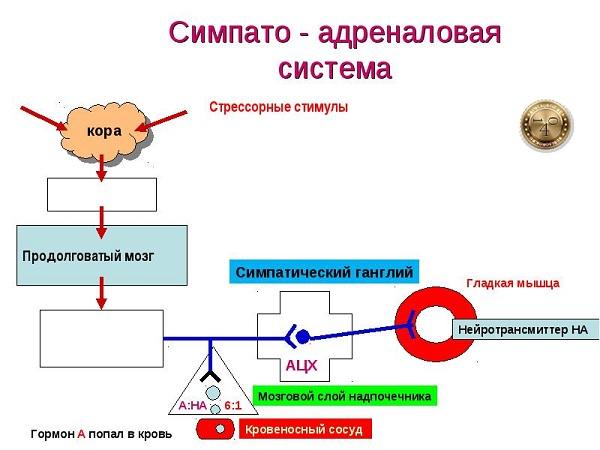 симпато-адреналовая система