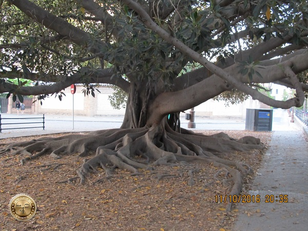 чудо-дерево в Севилье