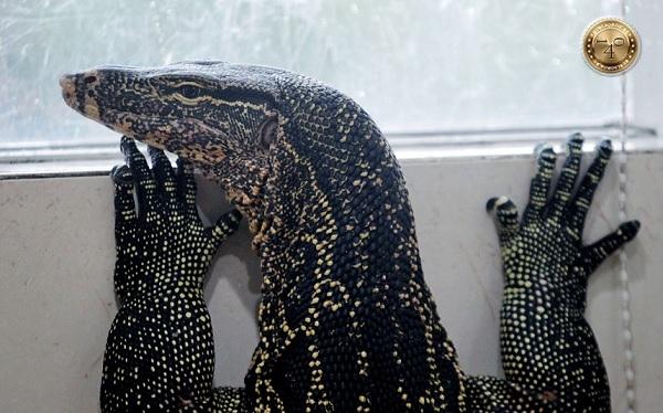 ящерица игуана